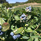 Blueberry Maple Syrup and U-Pick Blueberries at Fairfield Farms