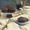 Wasabi and Chocolate Muffins