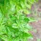 A Simple Basil Pesto