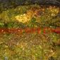 SAMBAL HIJAU IKAN SELAR DAN BAWAL / POMFRET AND YELLOWTAIL SCADS GREEN SAMBAL