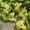 Steamed Gingered Broccoli