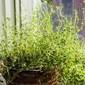 An update on my windowsill herb garden.
